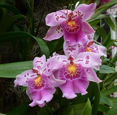 Like little folk dancers (edenseekr) Tags: orchids longwoodgardens