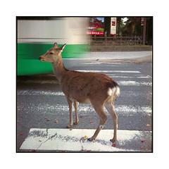 pedestrian  nara, kansai  2015 (lem's) Tags: street bus japan crossing minolta pedestrian doe bambi nara passage rue kansai japon pieton biche autocord