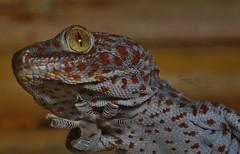 Tokay gecko (Gekko gecko) _DSC0054 (ikerekes81) Tags: tokaygeckogekkogecko tokaygecko gekkogecko tokay gecko gekko reptile reptilediscoverycenterzoonationalnational rdc reptilediscoverycenter washingtondczoo washingtondc washington dc dczoo zoo zoosmithsonian smithsoniannationalzoologicalpark smithsonian smithsoniannationalzoo national nationalzoo nikond3200 d3200 nikon sb700 18105mm istvan istvankerekes ik kerekes