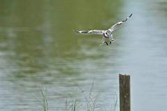D7K_0083 - Flying away bird... (Eltonpang) Tags: bird nikonflickraward