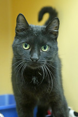 Dolly (AbbyB.) Tags: rescue pet cat newjersey feline shelter adopt adoptable shelterpet petphotography easthanovernj mtpleasantanimalshelter