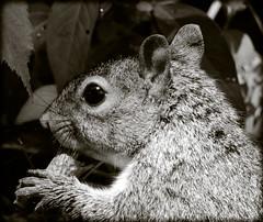 DSCN9622 (DianeBerky19) Tags: summer backyard nikon squirrels birdfeeder peanuts greysquirrels coolpixp900