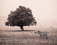 Neighhhhh (Pappagalla) Tags: blackandwhite nature monochrome animal tanzania mammal wildlife safari zebra babyanimal