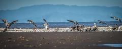 A Day At The Beach (gecko47) Tags: ocean sea panorama beach pelicans birds river sand costarica estuary pacificocean shore cormorant seabirds waterbirds egrets rivermouth flocks terns tarcolesriver