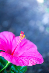 Happy Weekend! ([ raymond ]) Tags: pink flowers color macro nature beautiful beauty vertical closeup outdoors spring bokeh hibiscus stamen springtime img0607