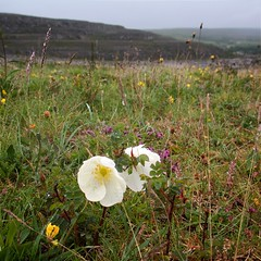 Flora of the Burren 4 (Michael Foley Photography) Tags: county ireland plants ice flora mediterranean clare glacier alpine age limestone burren clints artic climate coclare galwaybay temperate grikes grykes