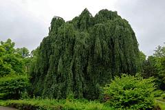 Buche in Hiltrup - 2016 - 0001_Web (berni.radke) Tags: tree giant baum beech mnster buche colossus riese hiltrup