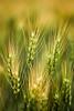 Prairie Wheat (Bhlubarber) Tags: summer food canada field yellow photography farm wheat grain harvest whole alberta crop western carvel prairies commodity eatlocal davidniddrie