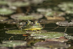 I See You (Brian Rome Photography) Tags: morning travel lake water pond canoe frog waterlilies algonquin openwater