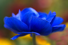 blue ... balance (mariola aga ~ vacatiON) Tags: chicagobotanicgarden glencoe garden plant flower blueharmony blue petals depthoffield blur bright macro closeup balance pastel colors thegalaxy