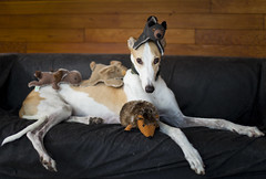 The Stuffies Bite Back! (- POD -) Tags: dog greyhound silly animal toys hound couch stuffie