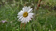 Flm daisy (margarita) (SmartFireCat) Tags: instagramapp square uploaded:by=instagram flam norway norge noruega margarita flor fleur blum daisy coastal coast costa