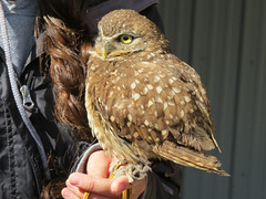 Burrowing owl (KiwiHugger) Tags: burrowingowl