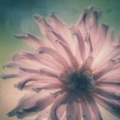 "me as a flower (listening to ""don't get me wrong"", the pretenders) (jeneksmith) Tags: pink summer flower nature canon petals natural patterns shapes july textures curly bloom zinnia storytime snapseed"