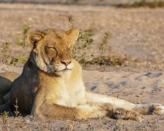 Catching Some Rays (MarcCooper_1950) Tags: lion lioness africa wild wildlife bush safari bigfive predator bigcats biggame animals feline fauna goldenhour sabisands arathusa lodge marccooper panasonic lumix fz1000 leica iightrrom hdr