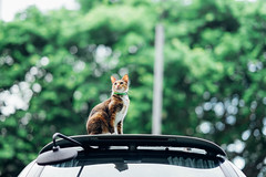 The Top of the .... car (Tridentz | ) Tags: thetopof cat meow neko animal bokeh car cute lovely green sony a7 alpha alpha7 85mm f14 14 fe gm gm85 fe85 gmaster hongkong    kittysuperstar