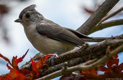 Tufted Titmouse on a Japanese Maple (dhollender) Tags: bird tuftedtitmouse blueheronfarm