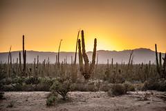 Sunset in the Desert (Erin Claassen Photography) Tags: travel sunset vacation cactus sun holiday mountains mexico desert wanderlust traveller adventure bajacalifornia bajacaliforniasur cardon bcs traveler travelphotography cardoncactus cacuts