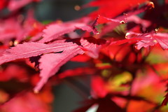 Acer (Mike.Dales) Tags: macro acer