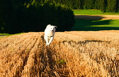 Today's outlook...Sun Sun Sun! (balu51) Tags: morgenspaziergang morgen frh kurznachsonnenaufgang stoppelfeld erntezeit hund kuvasz ungarischerhirtenhund rennen spielen spass freude morningwalk morning early warm sunny harvest field landscape brown yellow green dog running playing fun happy summer juli 2016 copyrightbybalu51