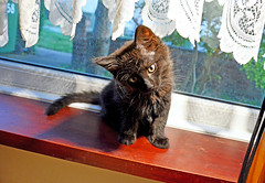 Do you have a new toy for me? (Caulker) Tags: kitten windowsill curiosity 17072016