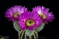 Echinocereus reichtenbachii (clement_peiffer) Tags: echinocereus reichenbachii d7100 105mm nikon cactus fleurs flowerscolors