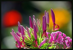 IMG_7957 Between the Red & Yellow Suns 7-22-16 (arkansas traveler) Tags: flowers cleome bokeh bokehlicious nature naturewatcher zoom telephoto natureartphotography