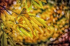 (s.lang534) Tags: herbstfarben herbstlaub herbst bltter gelb laub bume natur naturewatcher lumix lumixg5 color goldenerherbst