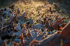339/365 morning frost (sullivanj487) Tags: 365 nikon d5000 frost morning light lighting sunlight leaf leaves perspective glow warm cold season