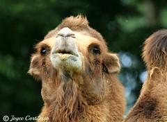 Camel Kisses (TravelsJ19) Tags: camelface camels camel camelhumps
