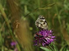 duo sur fleur (bulbocode909) Tags: papillons zygges fleurs prairies nature montagnes vert jaune rouge