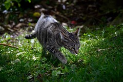 Into the shade (monty689) Tags: cat tabby sleek hunter light shade dappled feline grass tilly skulking