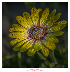 Sunshine of your Love (Dave Whiteman - AU) Tags: africandaisy daisy flower osteospermum petals flora