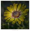 Sunshine of your Love (Dave Whiteman - AU) Tags: africandaisy daisy flower osteospermum petals flora