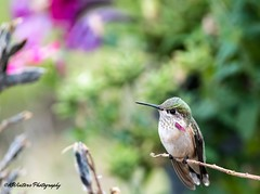 Backyard Visitor (KWinters Photography) Tags: tree d5500 colorado yard colors animal nature outdoor flickr nikondsl nikondigital sigma150600 sigma nikon closeup bird hummingbirds