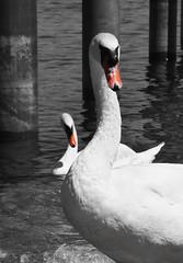 simoultan motion - two swans (Lala89_Photos) Tags: swan schwan swans schwne vogel wasservogel bird birds vgel weis white animal tier closeup portrait proud pride stolz lake see water wasser