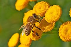 A honey bee working on a common tansy. (Bienenwabe) Tags: honeybee bee honigbiene biene apis apismellifera apiaceae tanacetumvulgare asteraceae tanacetum lippentaster rainfarn