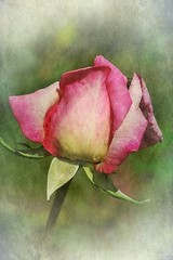 Enchanting rose (mamietherese1) Tags: texture world100f floralaromas fleursetpaysages doublefantasy artdigital buttergarden