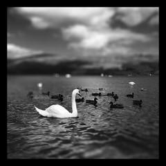 Loch Lomond (frankhimself) Tags: splashes busy sunlight beautiful uk scotland lochlomond blur focus bokeh clouds sky mountains monotone bw lomond loch water feathers birds swans ducks