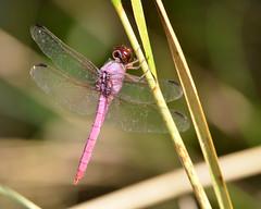 Roseate Skimmer: Central Florida (Stan in FL) Tags: roseate skimmer orthemis ferruginea odonata dragonflies dragonfly damselflies damsel florida nikon tamron