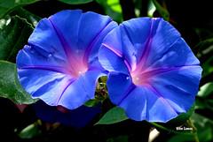 "Flores silvestres ""glria da manh"" Convolvulus meonanthos (verridrio) Tags: flora planta flor sony silvestre flower blumen glriadamanh naturaleza natur nature natura blue mondego"