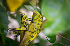 Dating.. (Just_hobby) Tags: grasshopper closeup extensiontube sonya6000 sel50f18 animalplanet insect outdoor