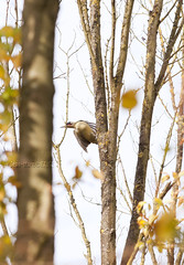 Pic Vert - Woody Woodpecker (kaigen.photo) Tags: paris france kingfisher iledefrance fort oiseaux woodywoodpecker picvert lpo ornithologie martinpcheur kaigen corif jeanmarclutzi picbois