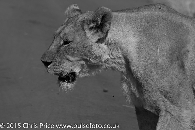 Lion, Madikwe Game Reserve