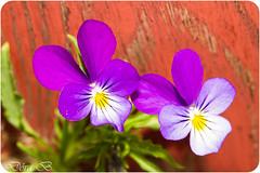 Sól (Dóra B.) Tags: summer sun flower colour outdoors cool nice pretty day walk akureyri lystigarðurinn dorabirgis