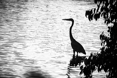 heron (boulanger_maxime) Tags: bw ontario tree 2004 heron river guelph leafs