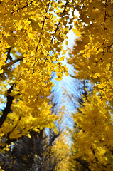DUY_6396 (Anh Duy Mai) Tags: blue autumn yellow japan tokyo nikon university meiji 2014 d7000