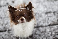 finn (Aleksandra Kielreuter - Fotografie) Tags: christmas xmas schnee winter chihuahua dogs hund chi tiny letitsnow hunde winterwonderland dogphotography doglover chihuahuadogs hundefotografie