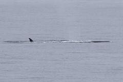 Fin Whale (Baractus) Tags: elephant john island islands south antarctica le whale fin shetland oates boreal inthewakeofshackleton
