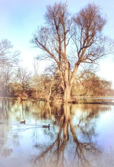 Tree & Two Ducks